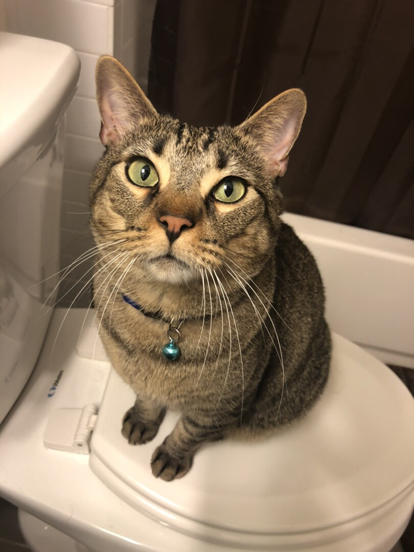 kitten sex differences in Santa Rosa