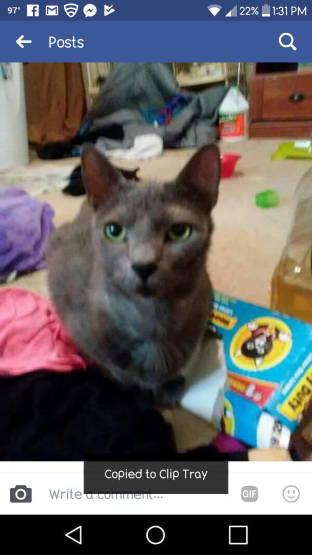 Lost Cat (Wichita Falls, Texas) - Zeus