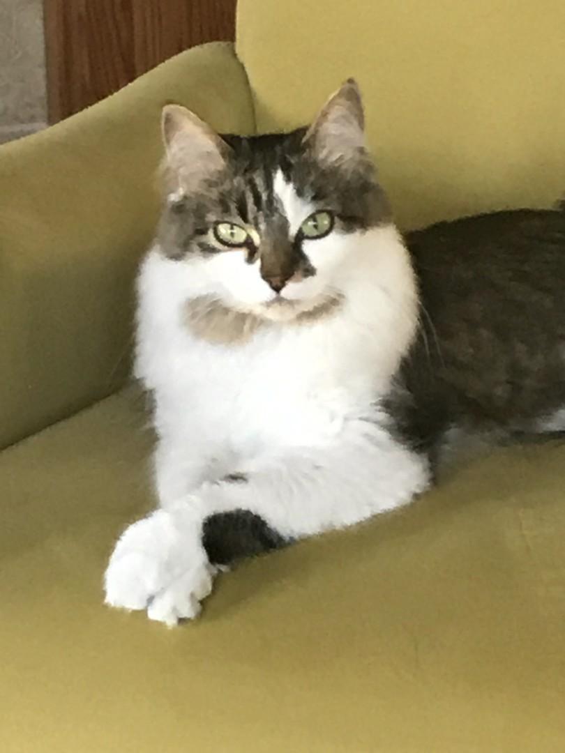Lost Cat Lewiston Idaho Arya