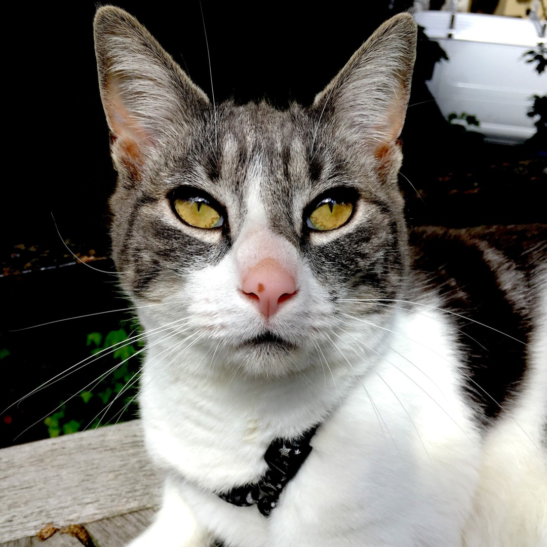 Lost Cat (West Orange, New Jersey) - Goose