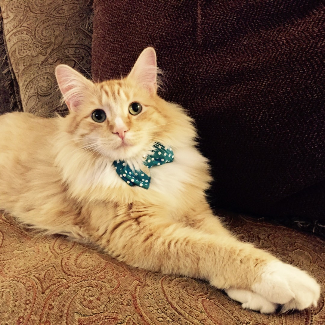 Lost Cat Boise Idaho Mr Lou